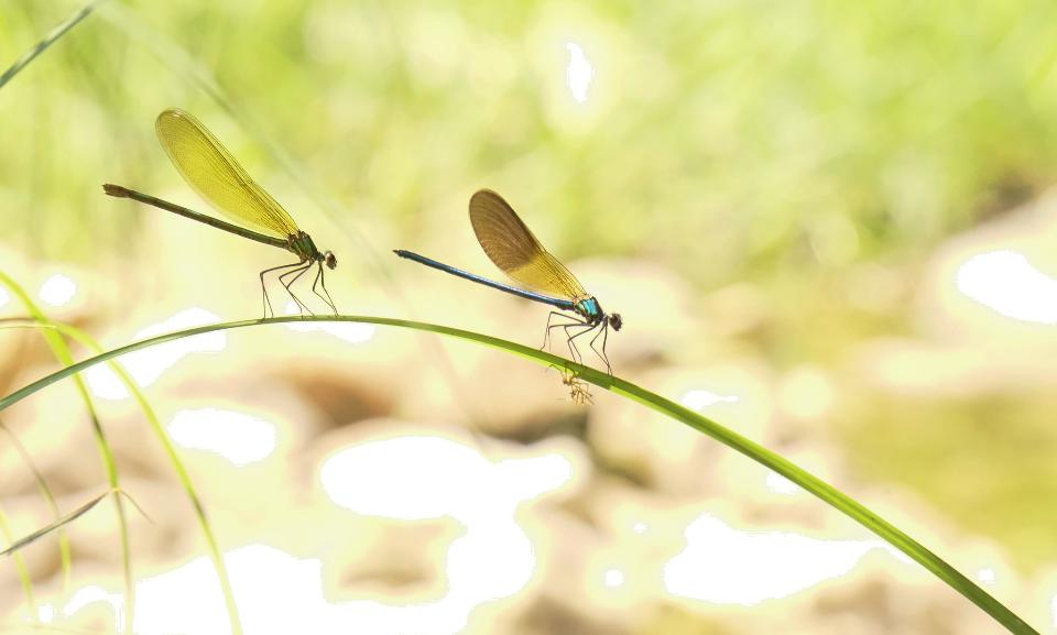 Yellow dragonfly Libellula drepressiosa Libellule