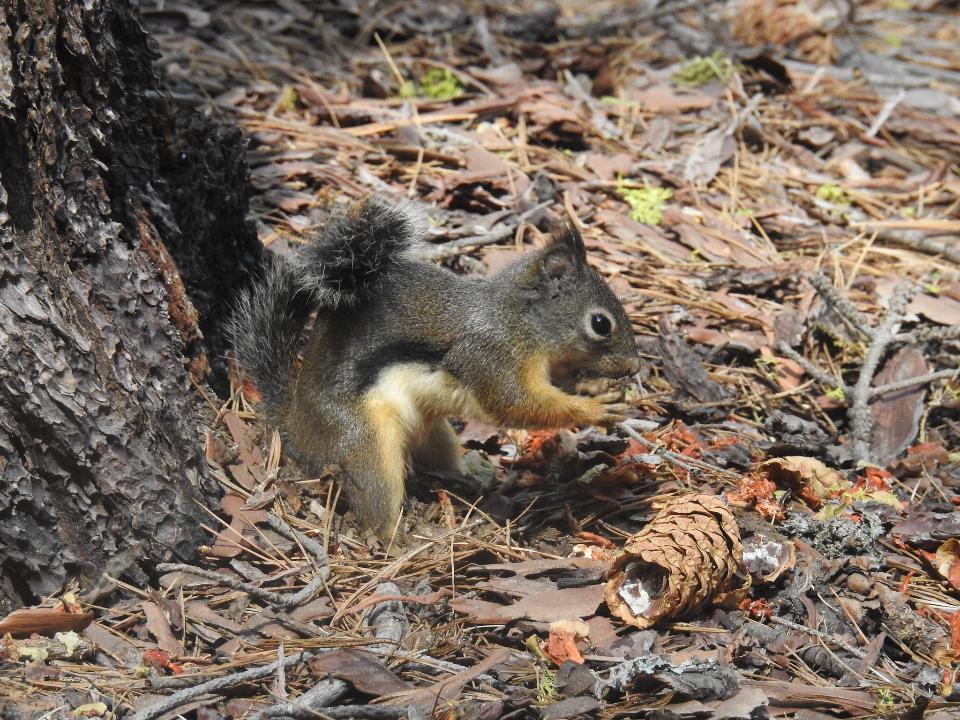 squirrel in Sequoia national park California, USA