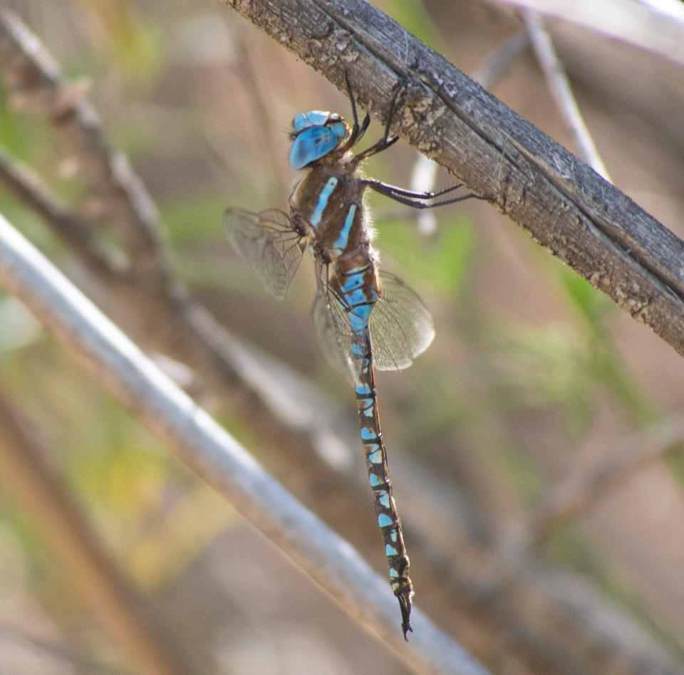 Dragonfly in the nature