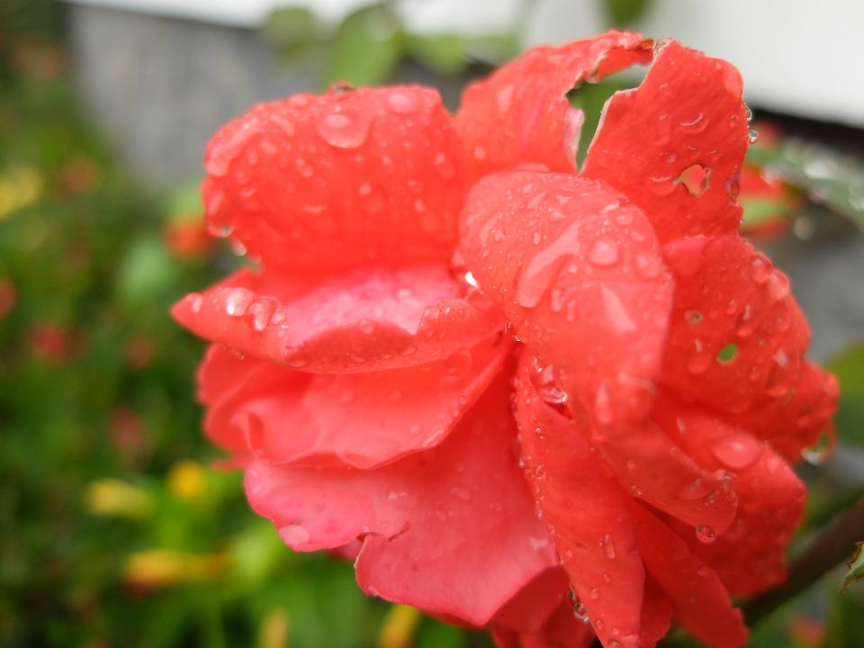 Water drop in red flower