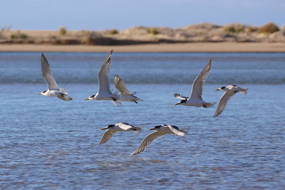 Great Crested Tern in Australia