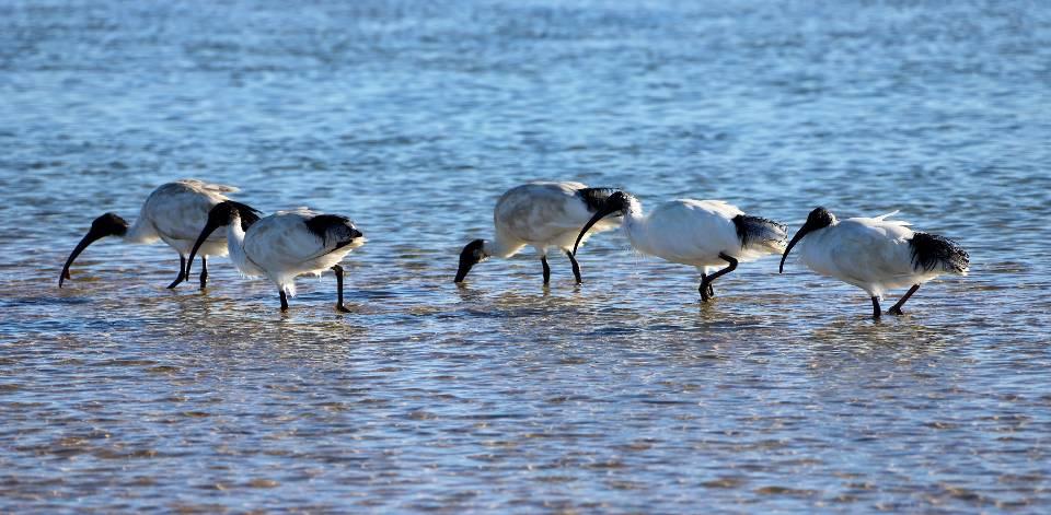 Australian white ibises