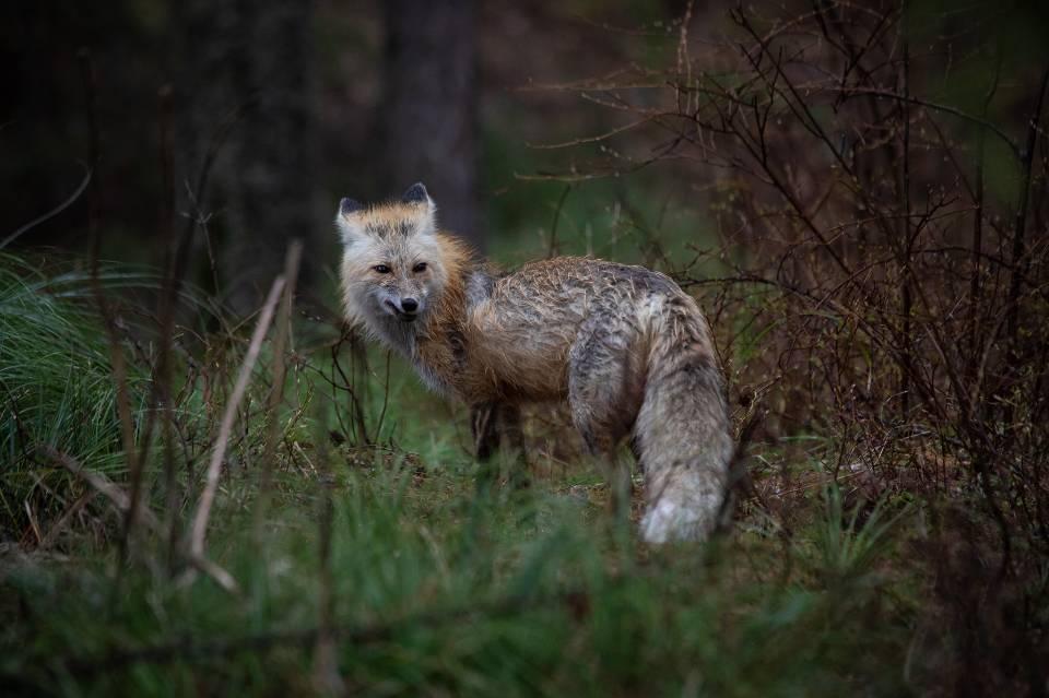 Red Fox in Glacier National Park
