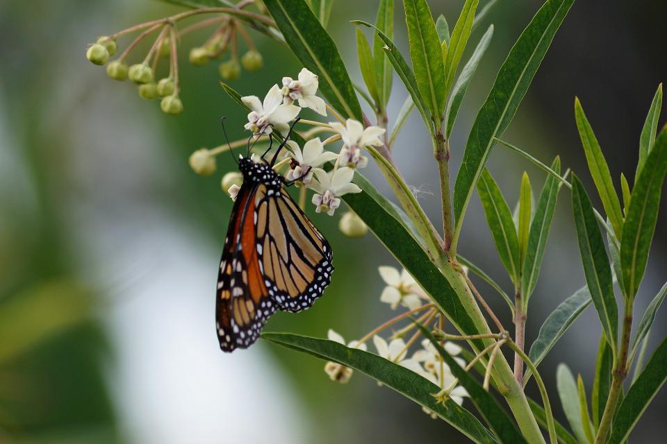Monarch Butterfly on Milkweed flowers