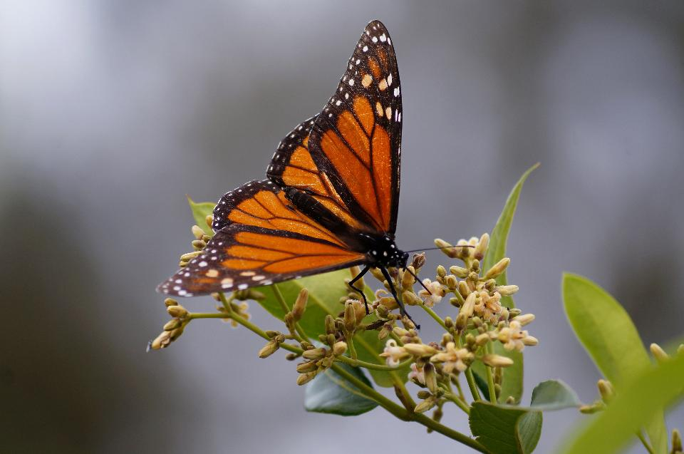 Monarch butterfly feeding on Silkpod flowers