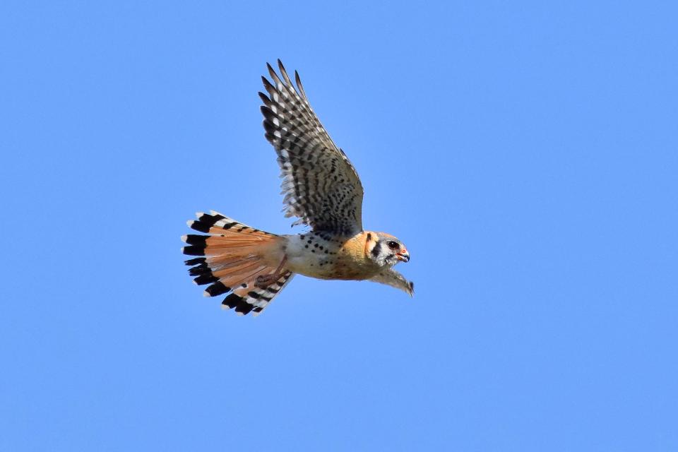 American kestrel hovering in the air against a blue sky
