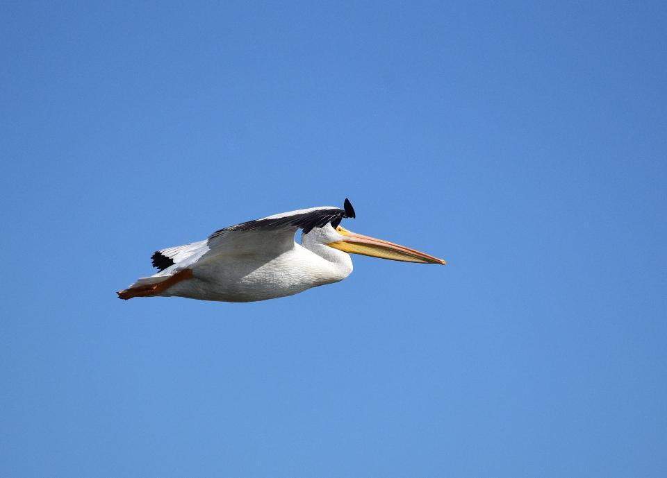 American white-pelican at Seedskadee National Wildlife Refuge