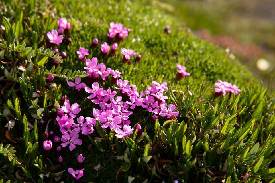 wild flower in Arctic National Wildlife Refuge