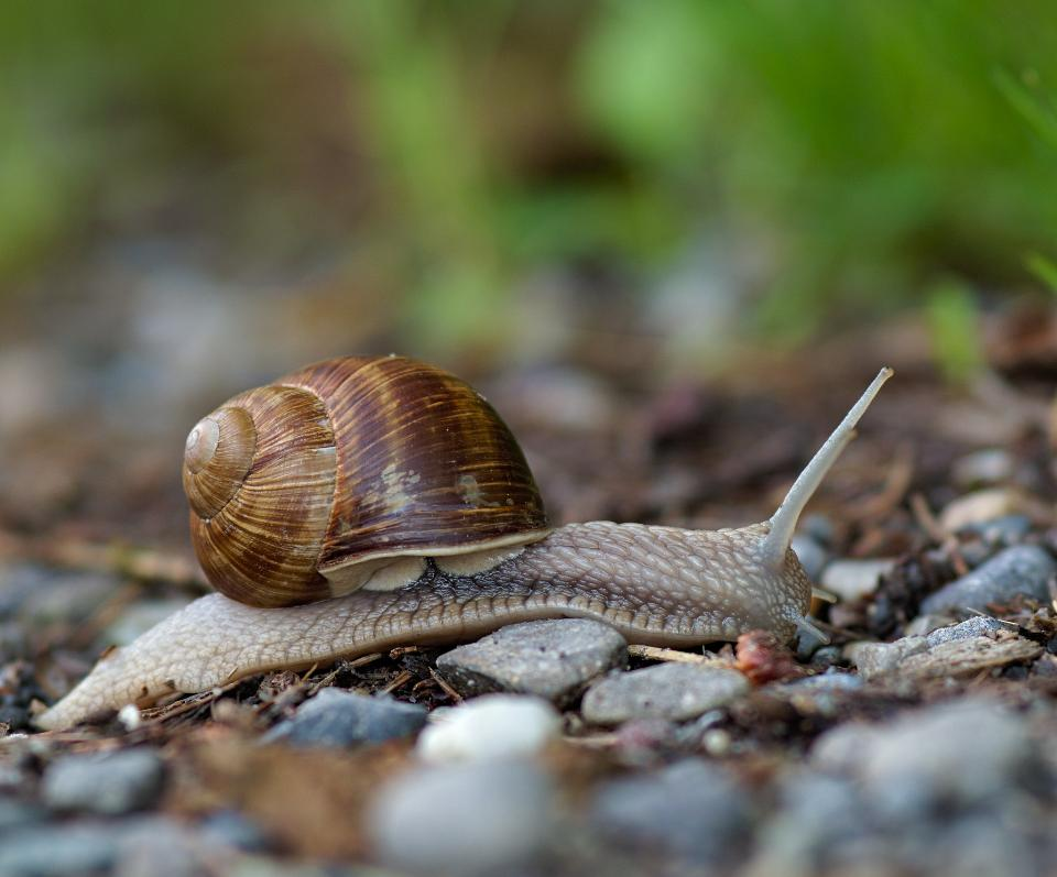 Helix pomatia also Roman snail, Burgundy snail, edible snail