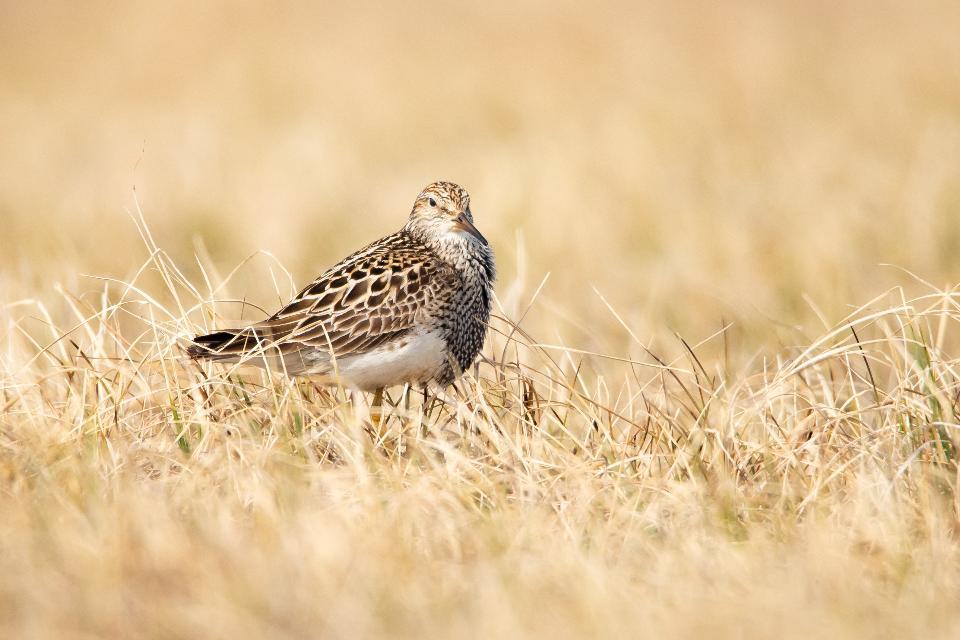 Bird in Arctic National Wildlife Refuge