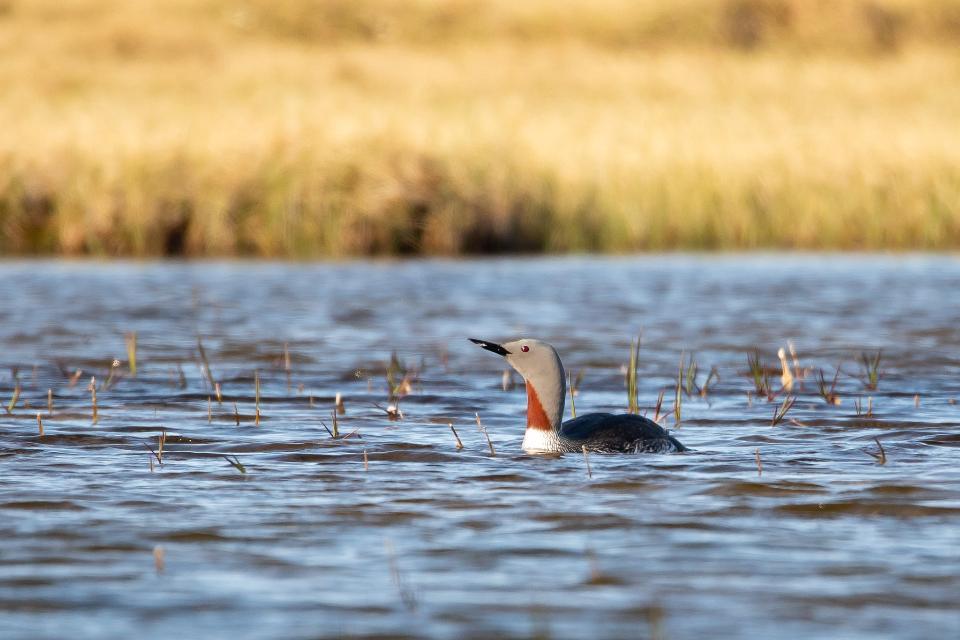 Birds in Arctic National Wildlife Refuge