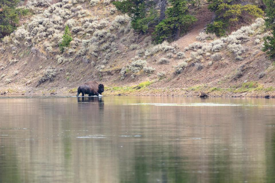 Bison exiting the Yellowstone River