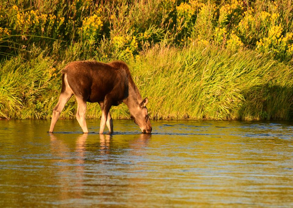 moose on Seedskadee National Wildlife Refuge