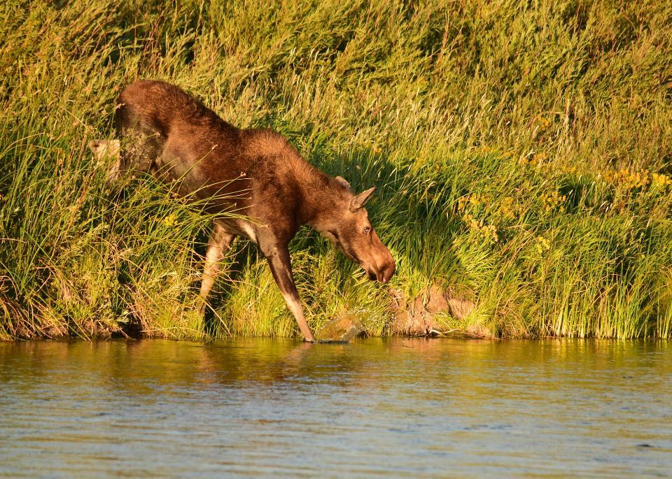 moose on Seedskadee National Wildlife Refuge