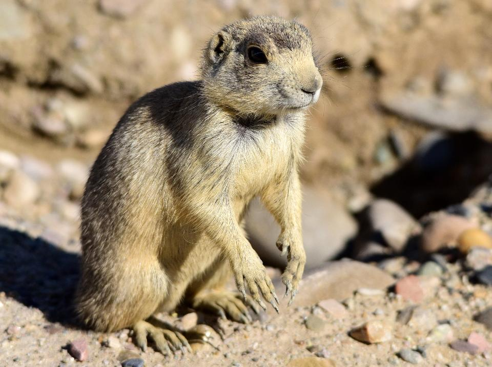 White-tailed prairie dog at Seedskadee National Wildlife Refuge