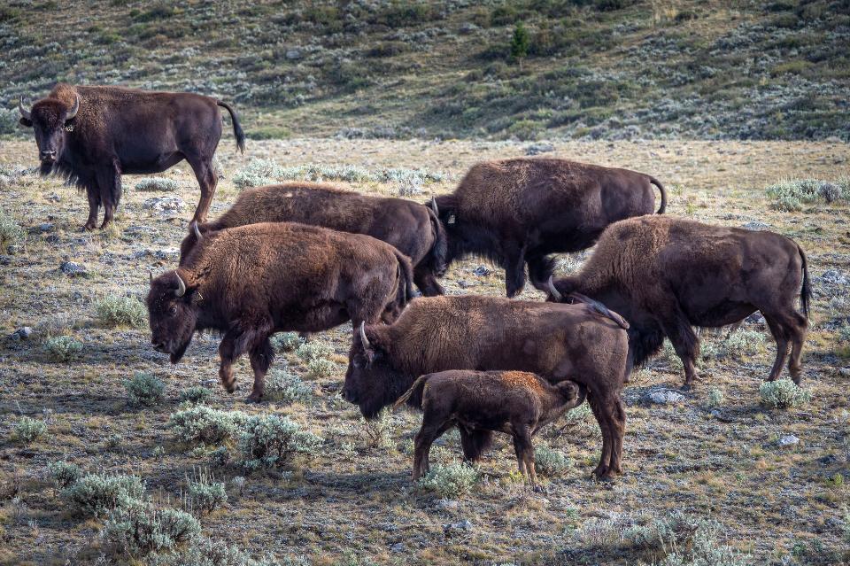 Buffalo graze southwest of Lima