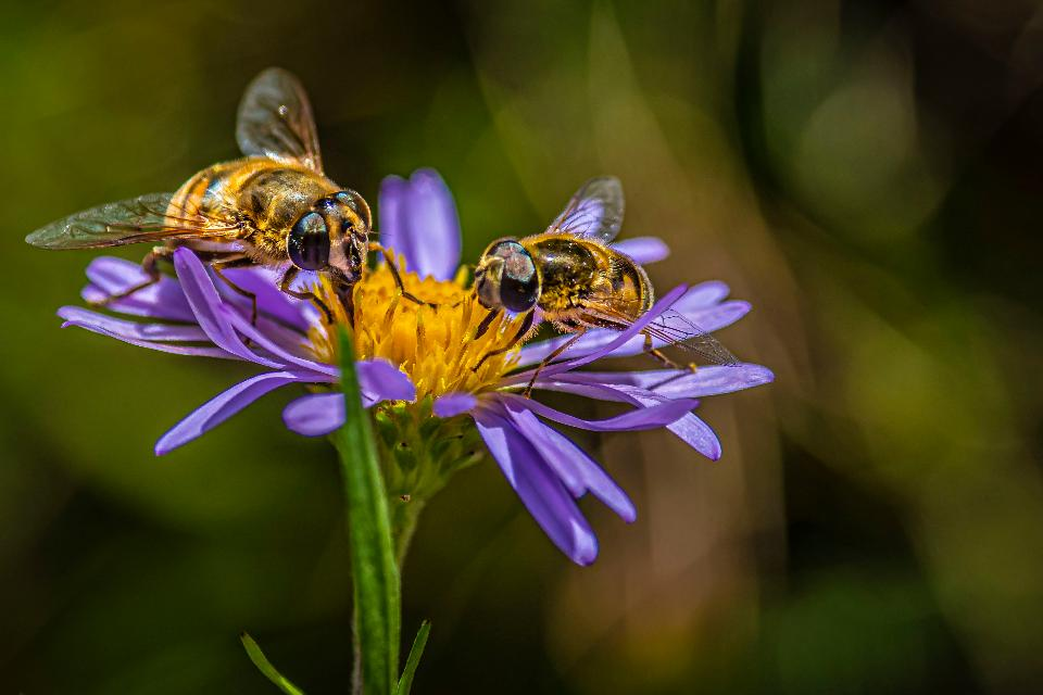 Bees pollinate on wildflowers