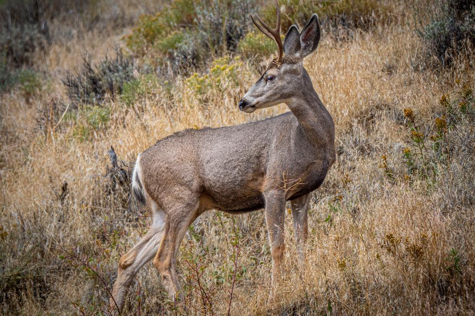 A white tail deer