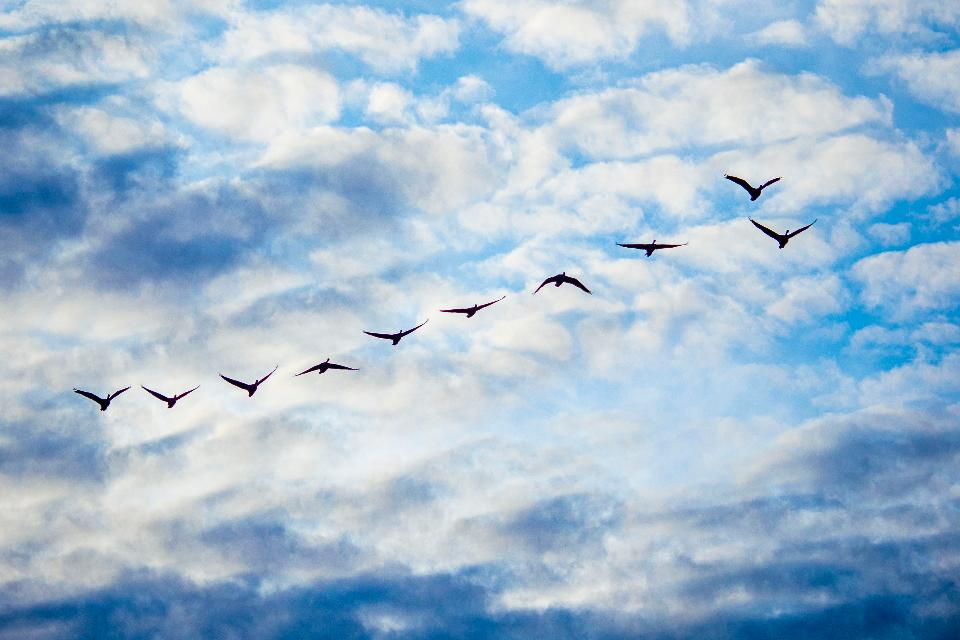 Geese fly overhead during sunset