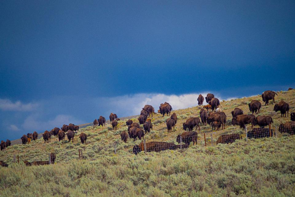 Buffalo graze southwest of Lima