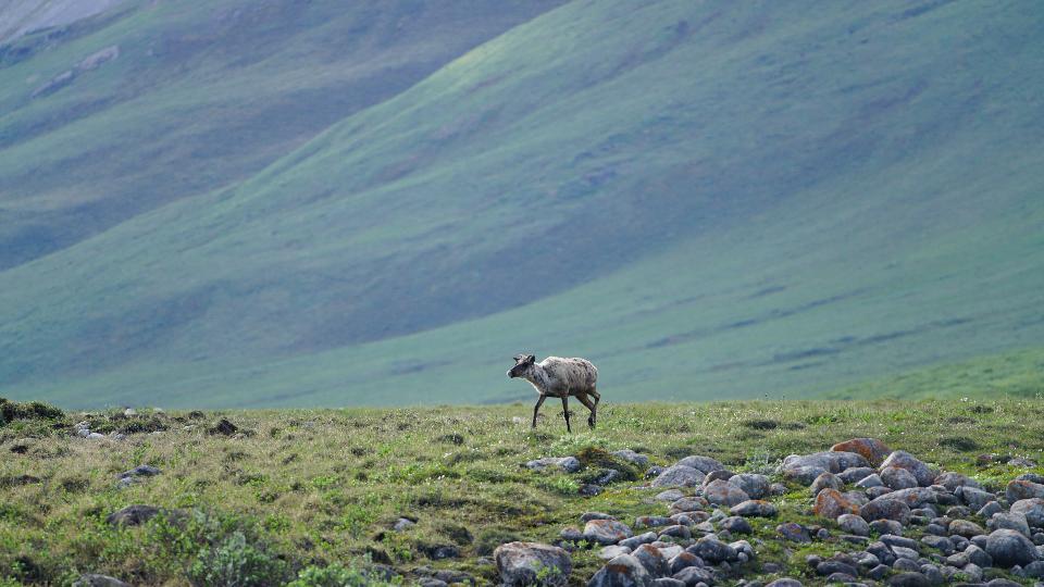 Caribou in Arctic National Wildlife Refuge