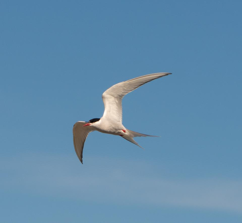 Arctic Tern in Arctic National Wildlife Refuge