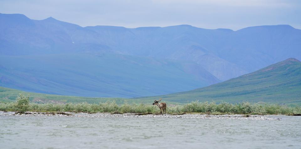Caribou spotting along the river