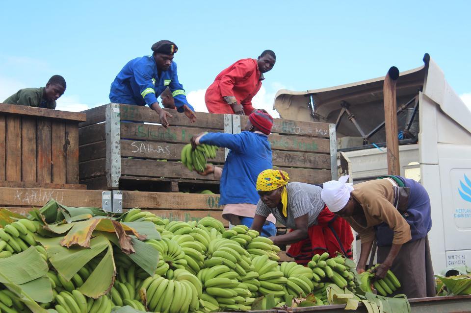 Vegetable harvesting. Unloading beans into truck