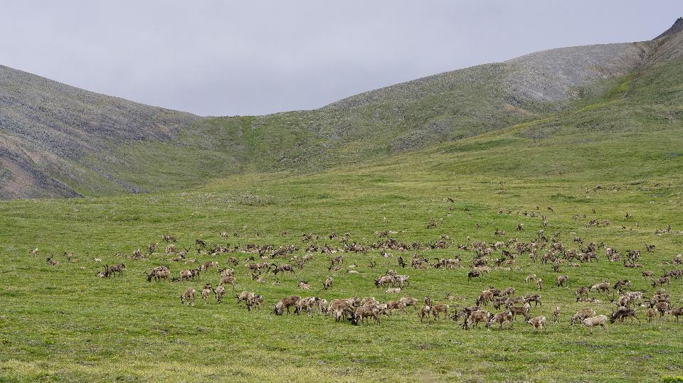 a large caribou herd