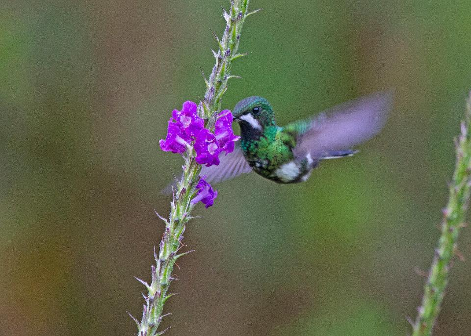 Green and blue hummingbird Sparkling Violetear