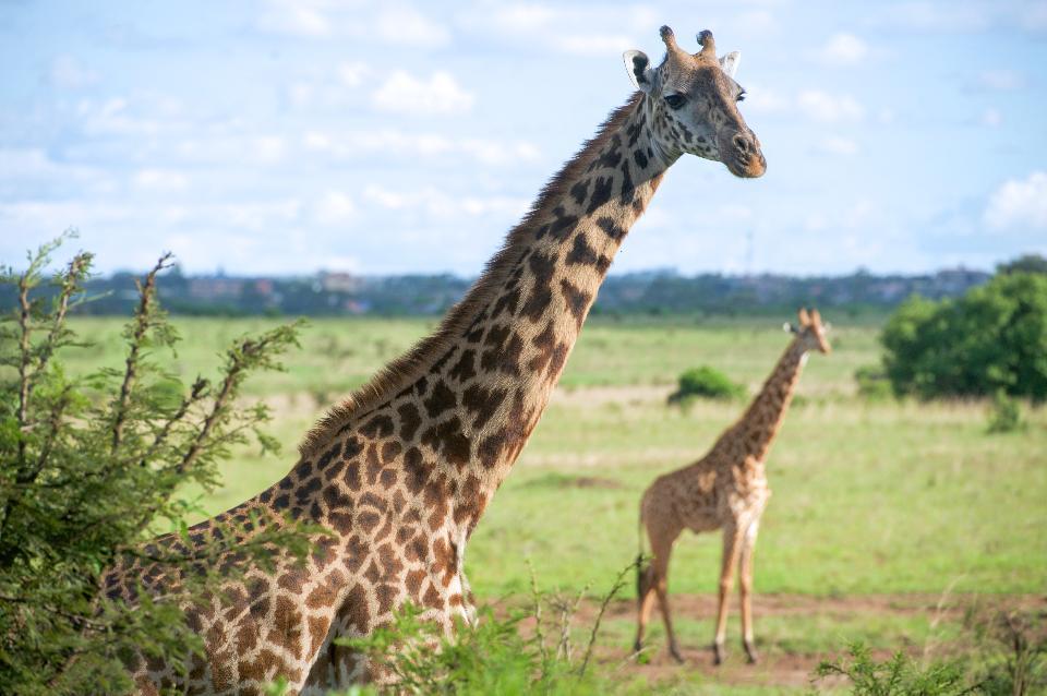 Giraffen laufen auf einem Gebiet in Nationalpark Nairobi