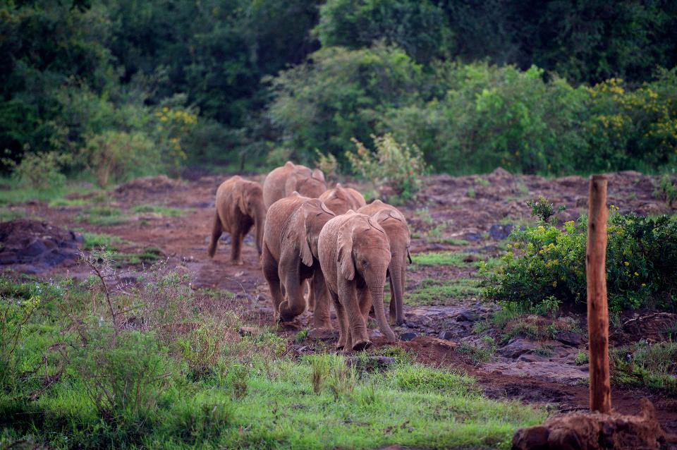 A Group of Baby Elephants Race for Food