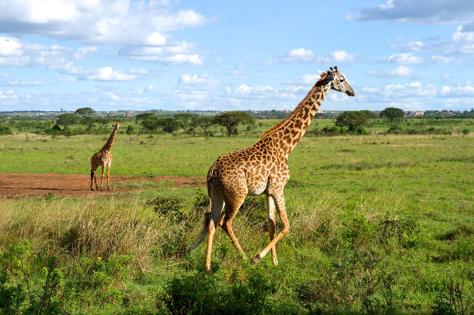 Giraffes Run in a Field in Nairobi National Park