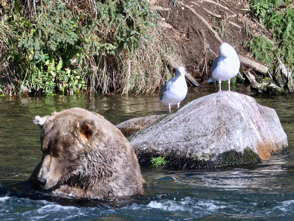 Bears in Katmai National Park and Preserve