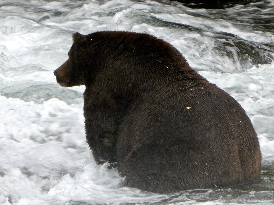 Bear in Katmai National Park and Preserve