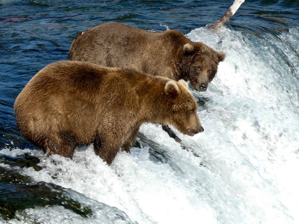 Bären im Katmai Nationalpark und in der Konserve