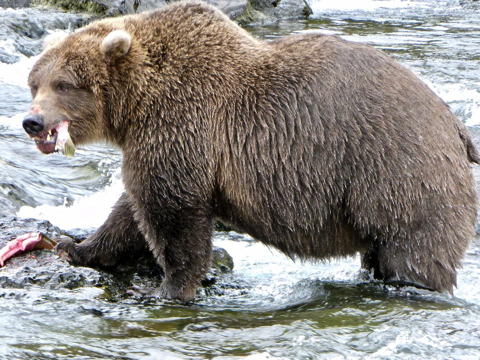 Bear in Katmai National Park and Preserve
