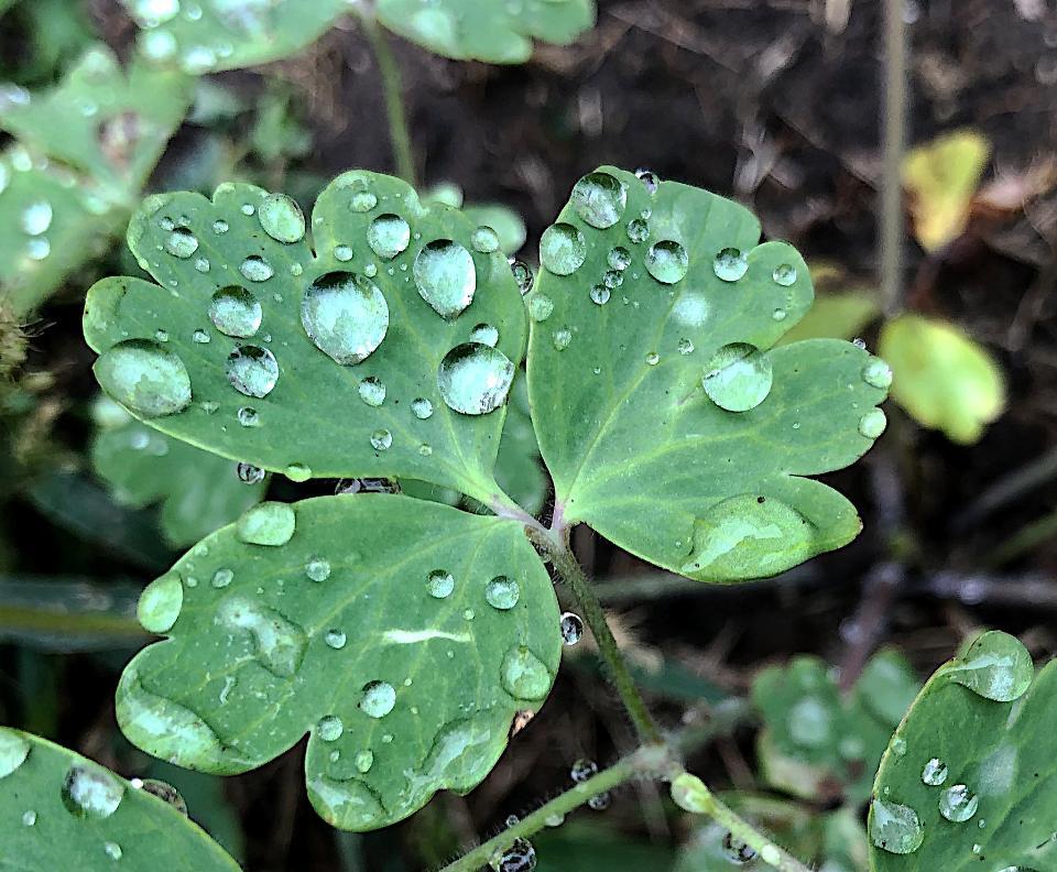 Water drop in green leaves