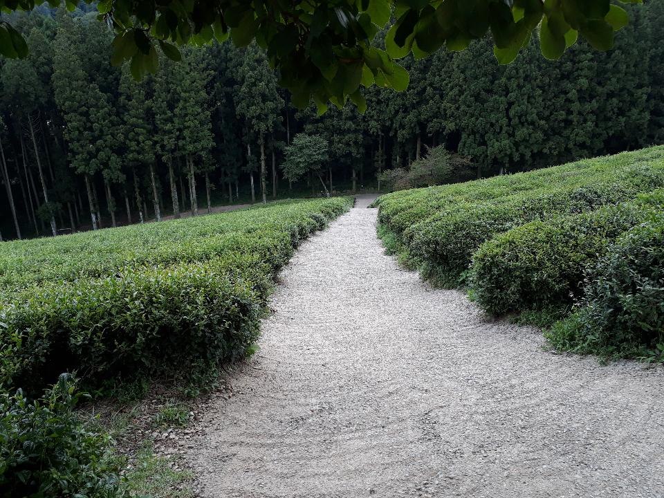 Boseong Green Tea Fields - Daehan Dawon Tea Plantation