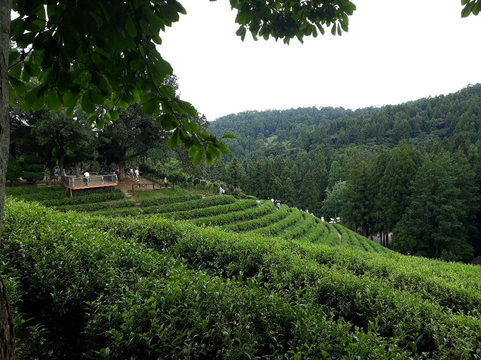 Piantagione di tè di Daehan Dawon dei campi di tè verde di Boseong