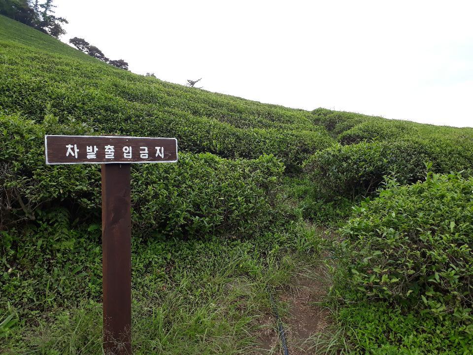 Boseong Green Tea Fields - Daehan Dawon Tea Plantation