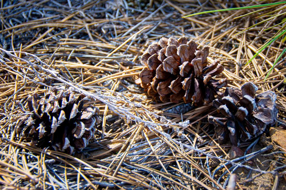 pine cones in forest