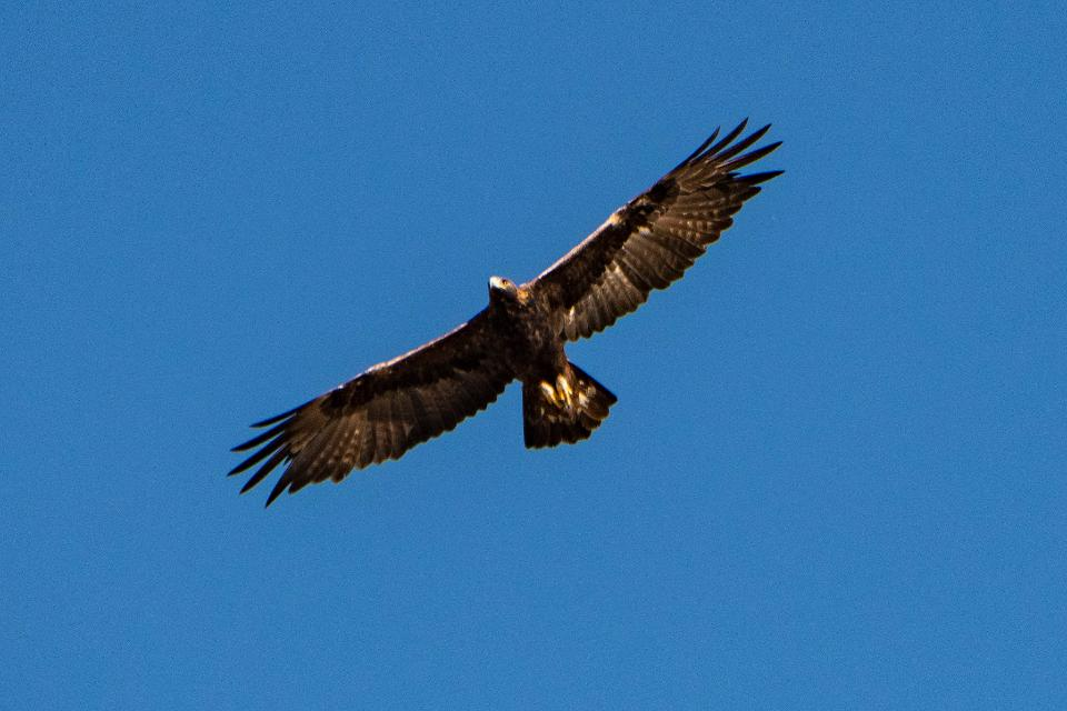 big eagle in flight against the blue sky