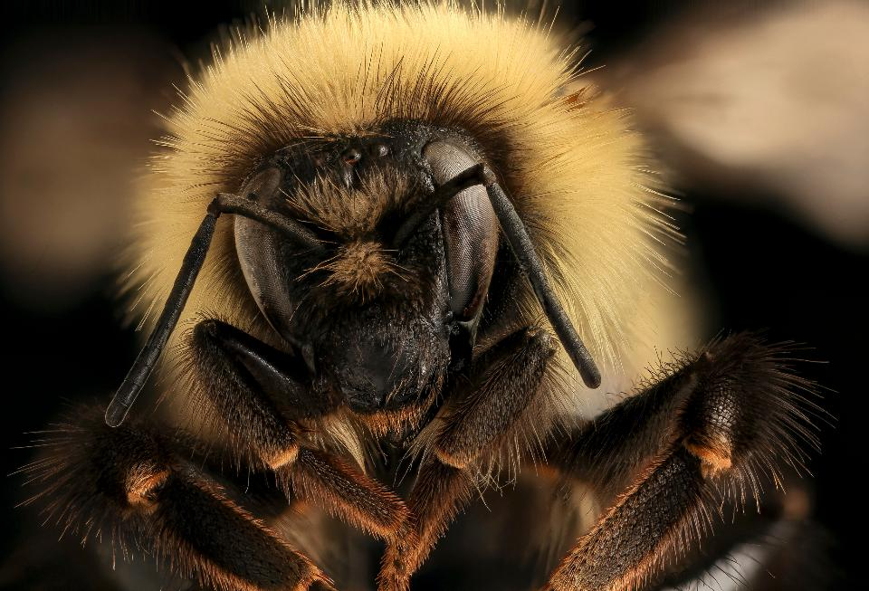 Bumble Bee Closeup