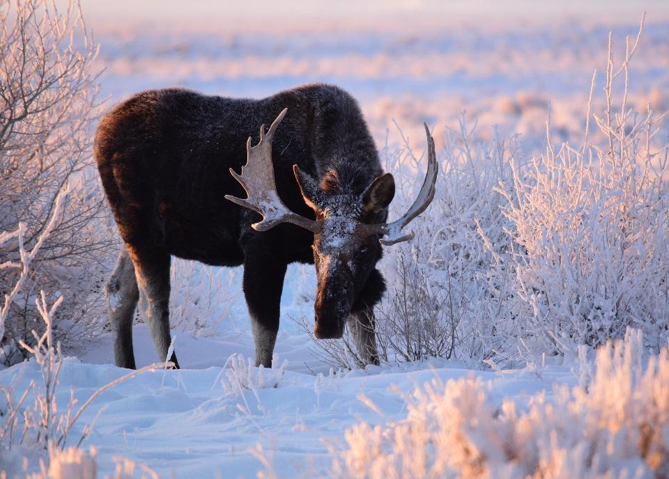 Moose at Seedskadee National Wildlife Refuge