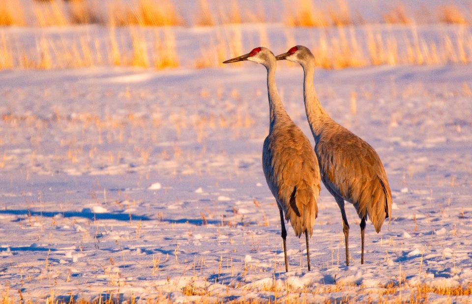 Sandhill Crane Pair in Snow