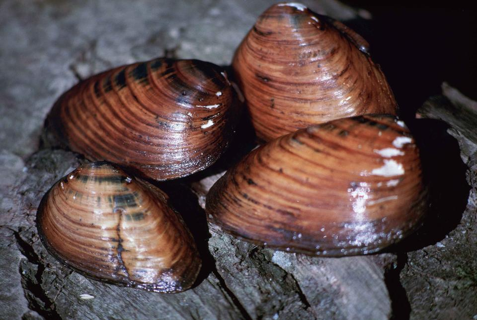 Clubshell mussel close up