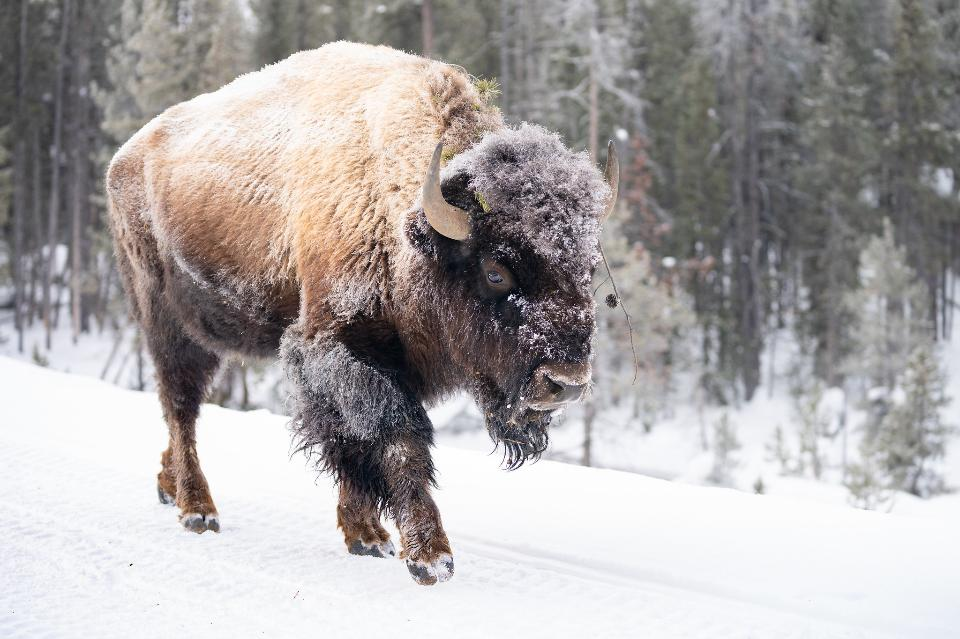 Frost-covered bison walks