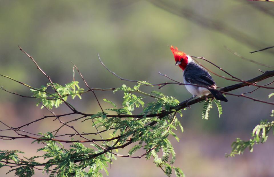 hawaiian red-crested cardinal in waimea canyon, kauai