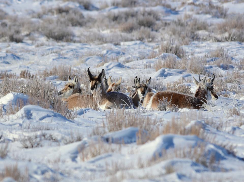 Pronghorn at Seedskadee National Wildlife Refuge